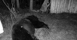 Azərbaycanda ayı uşaq bağçasına hücum edib