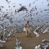 Kişi  Ərəbistan dənizinin sahilində qağayıların yemləyir. Mumbay Hindistan.