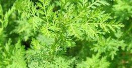 Xərçəngi 16 saata yox edən bitki tapıldı!