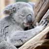 Koala vaxtının 99%-ni yatır. Heç ona deyən yoxdur, dur işə get.